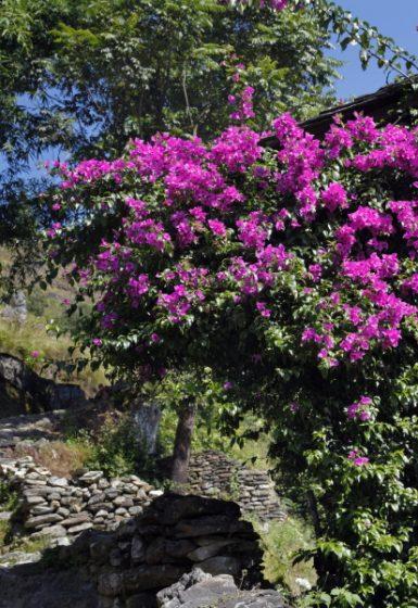 Trektocht Rond de Dhaulagiri Nepal | Snow Leopard (133) rhododendron
