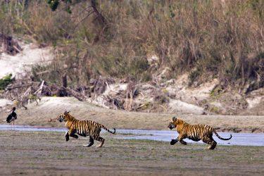 Safari Bardia National Park tijgers Nepalgunj Nepal | Snow Leopard (1)