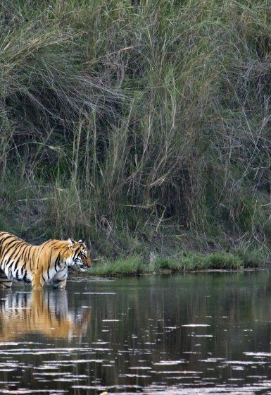 Safari Bardia National Park tijgers Nepalgunj Nepal | Snow Leopard (4)