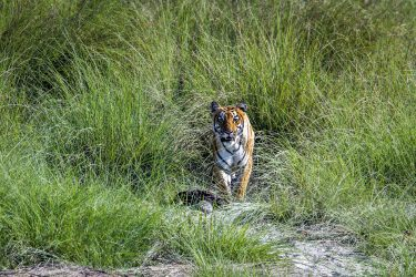 Safari Bardia National Park tijgers Nepalgunj Nepal | Snow Leopard (7)