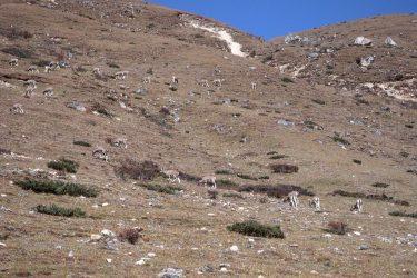 Trektocht Snowman Bhutan Himalaya 17 | Snow Leopard