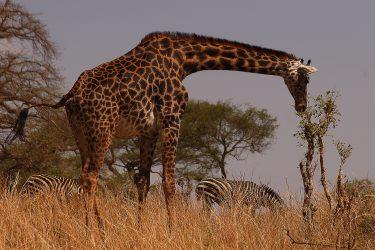 Safari Ngorongoro Serengeti Lake Manyara Tanzania | Snow Leopard (10)