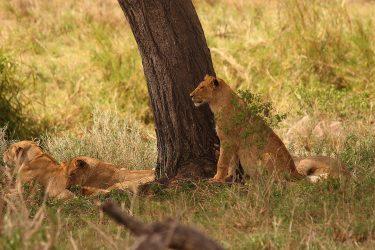 Safari Ngorongoro Serengeti Lake Manyara Tanzania | Snow Leopard (24)