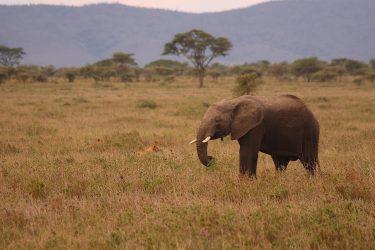 Safari Ngorongoro Serengeti Lake Manyara Tanzania | Snow Leopard (41)