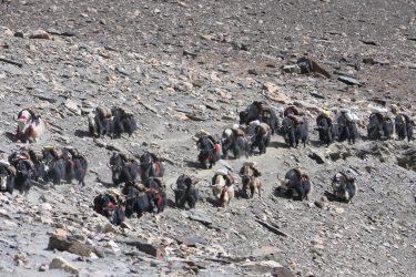Trektocht Upper Dolpo Inner Mu La Dunai Do Nepal | Snow Leopard (30)