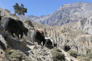Trektocht Upper Dolpo Inner Mu La Dunai Do Nepal | Snow Leopard (33)