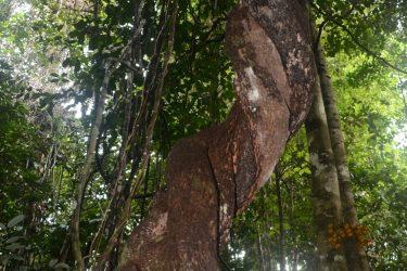 Wandelreis West Papua   Raja Ampat   Snow Leopard
