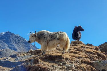 Nepal - Mt Everest - Khumbu trektocht - Snow Leopard (17)